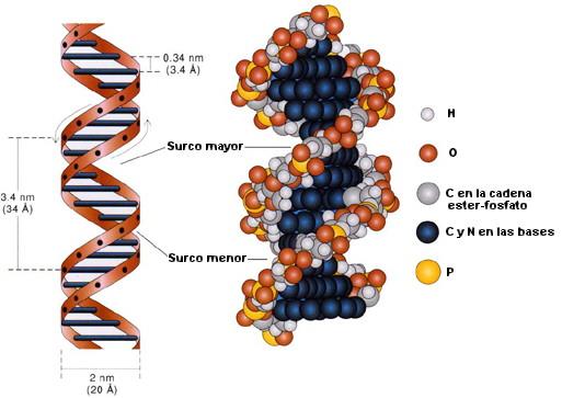 Nuestro ADN con Mensajes Ocultos ¿fue  Creado por Extraterrestres?